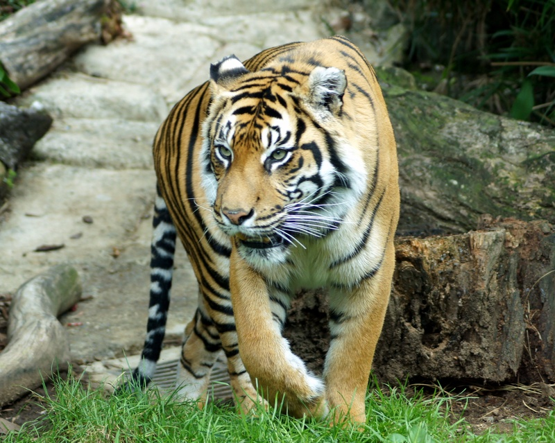 Tiger- Auckland Zoo NZ.