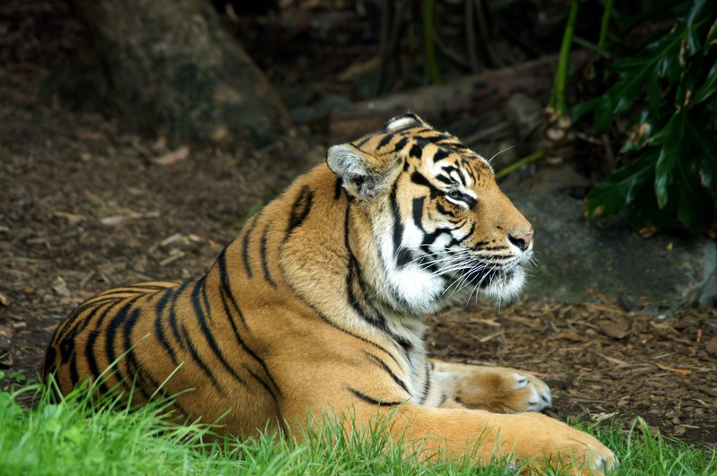 Tiger -   Auckland Zoo  NZ