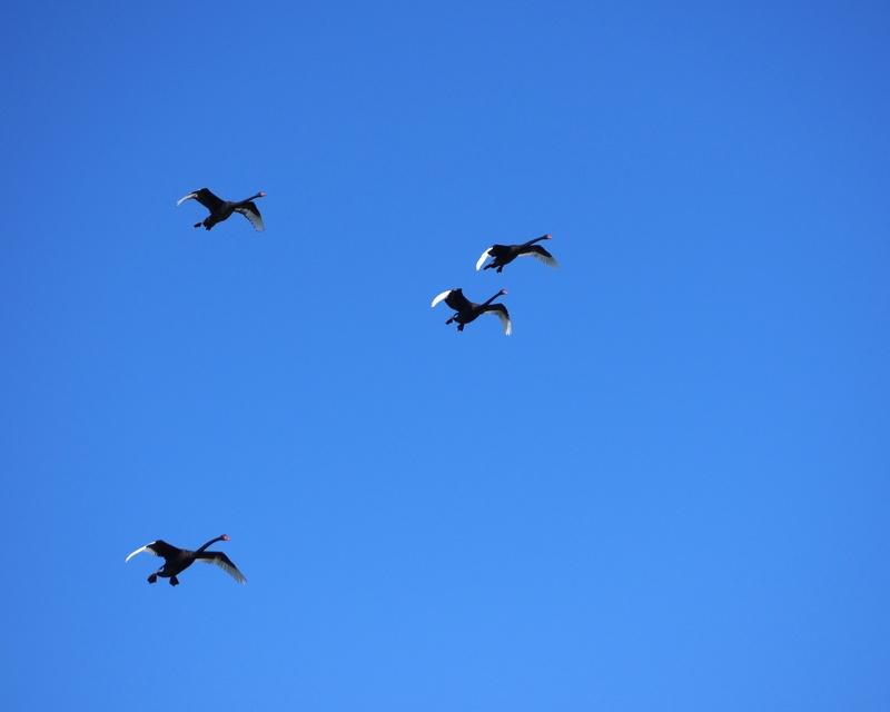 Incoming Black Swan