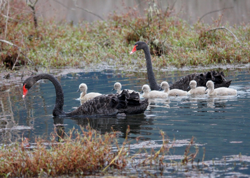 Black Swan family,Te Aroha Wetlands.