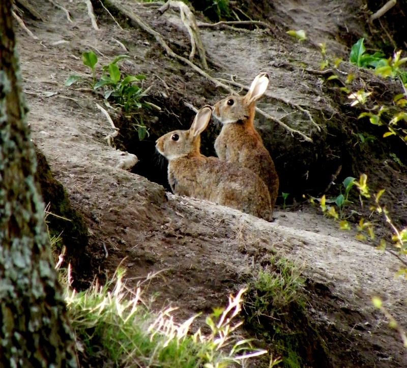 Rabbits Te Aroha Wetlands