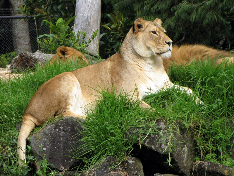 Lion- Auckland Zoo NZ