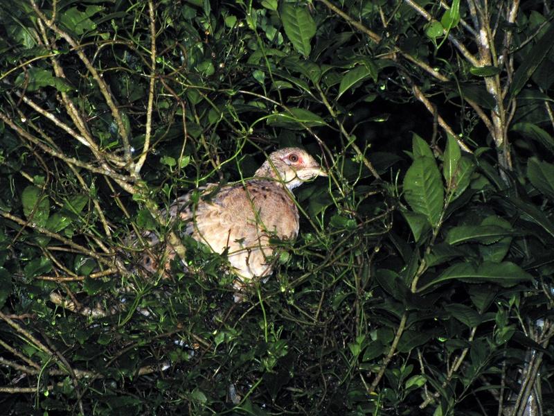 Roosting Pheasant- Hen