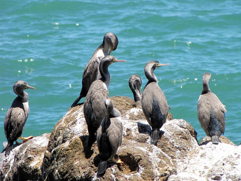 Shags -  Thames Coast