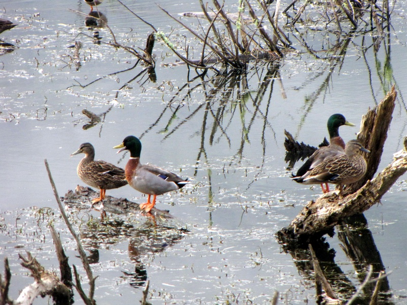 Mallard Ducks -Te Aroha Reserve