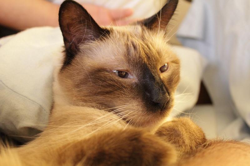 Adopt A Siamese Cat Nyc