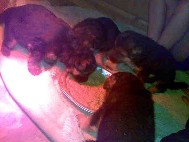 Orissa Von Zanmarheim Puppies