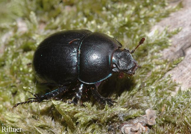 Tripocopris vernalis (Geotrupidae)