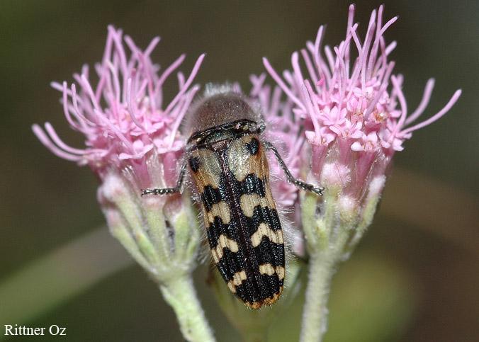 Dactylozodes specie