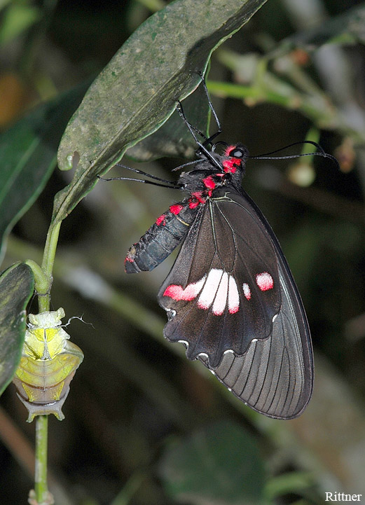 Parides anchises nephalion (Godart, 1819) - just hatched