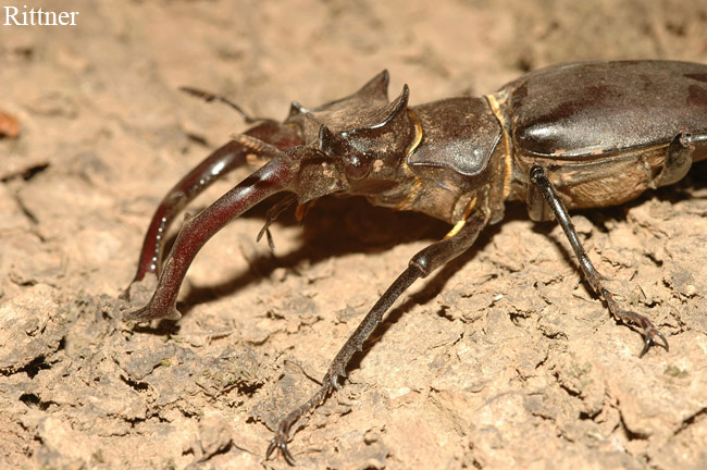 Lucanus cervus - Large male