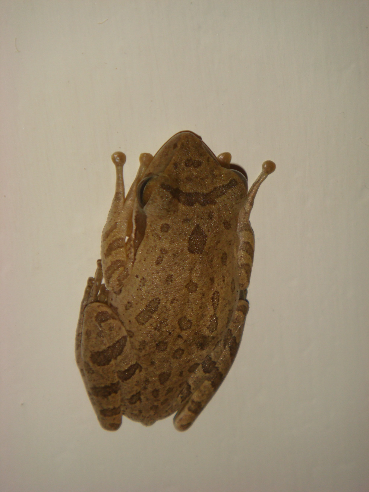 Frog hiding on plain wall