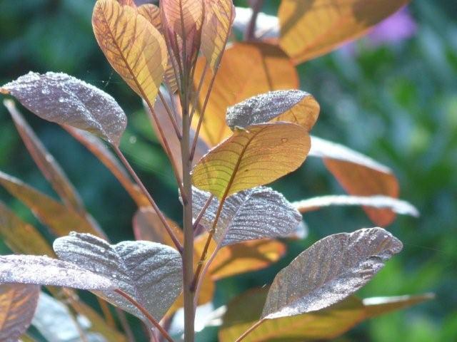 Cotinus purpurea