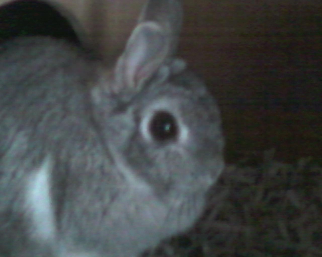 My Chinchilla Rabbit