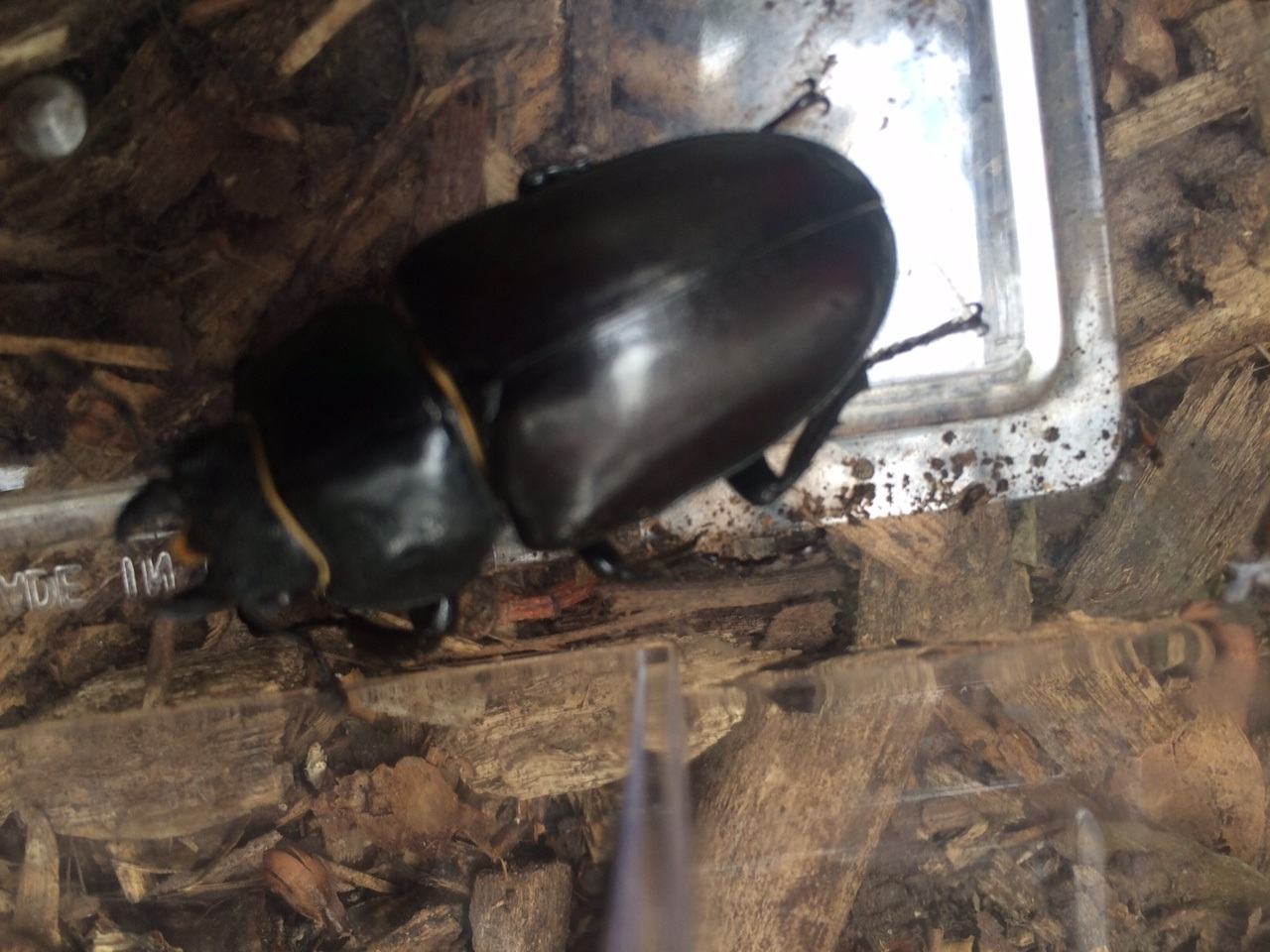 A beautiful female stag beetle.