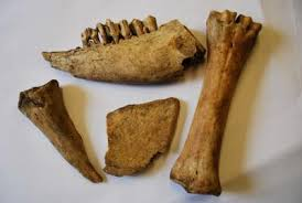 Animal bones for sale
