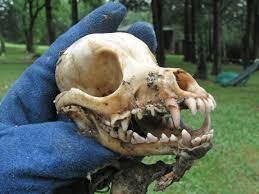 Animal skulls for sale