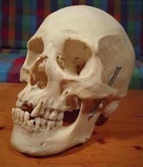 Real human skulls for sale
