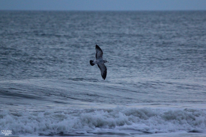 Seagull searching for dinner at sunset