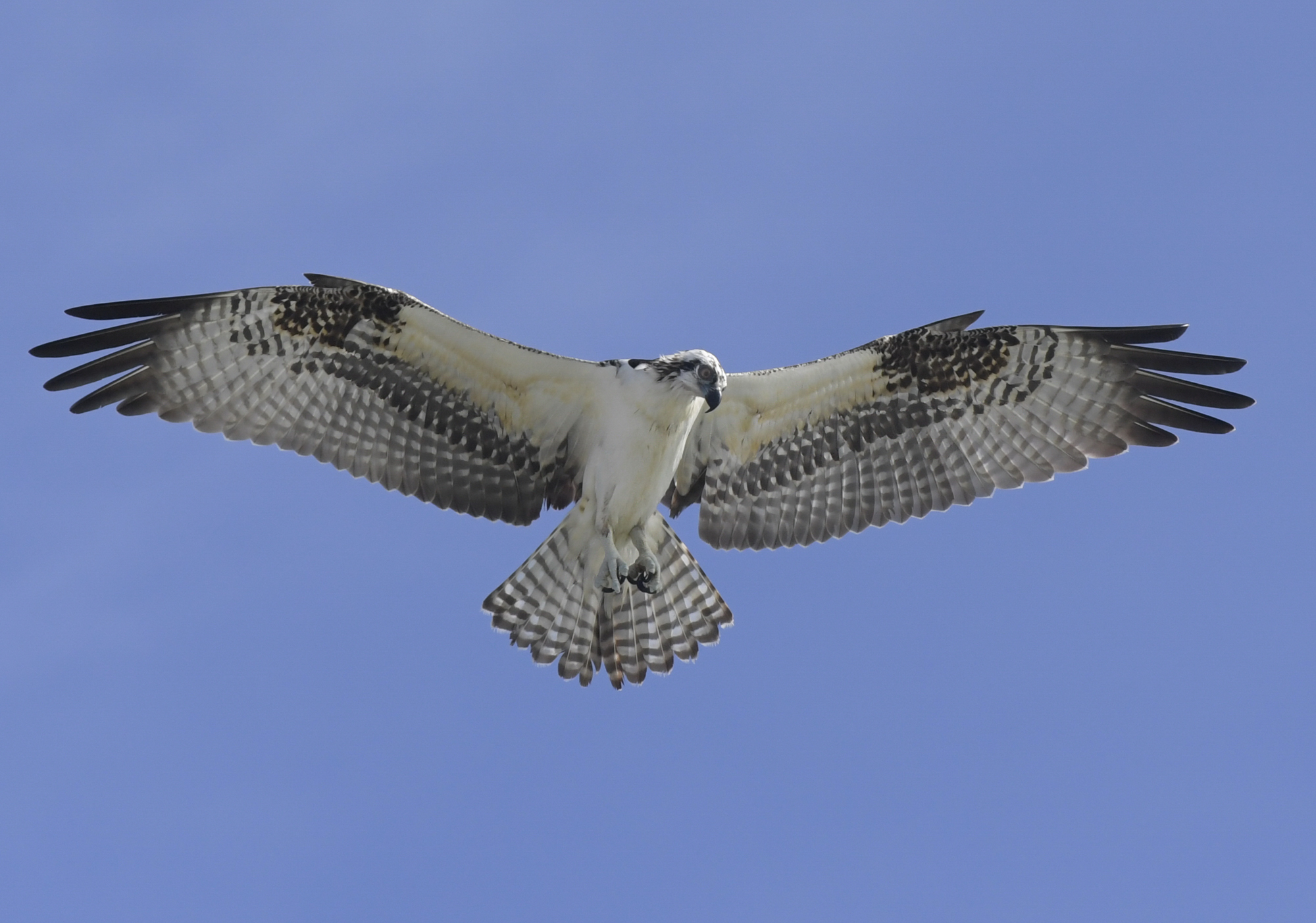Balbuzard - Osprey
