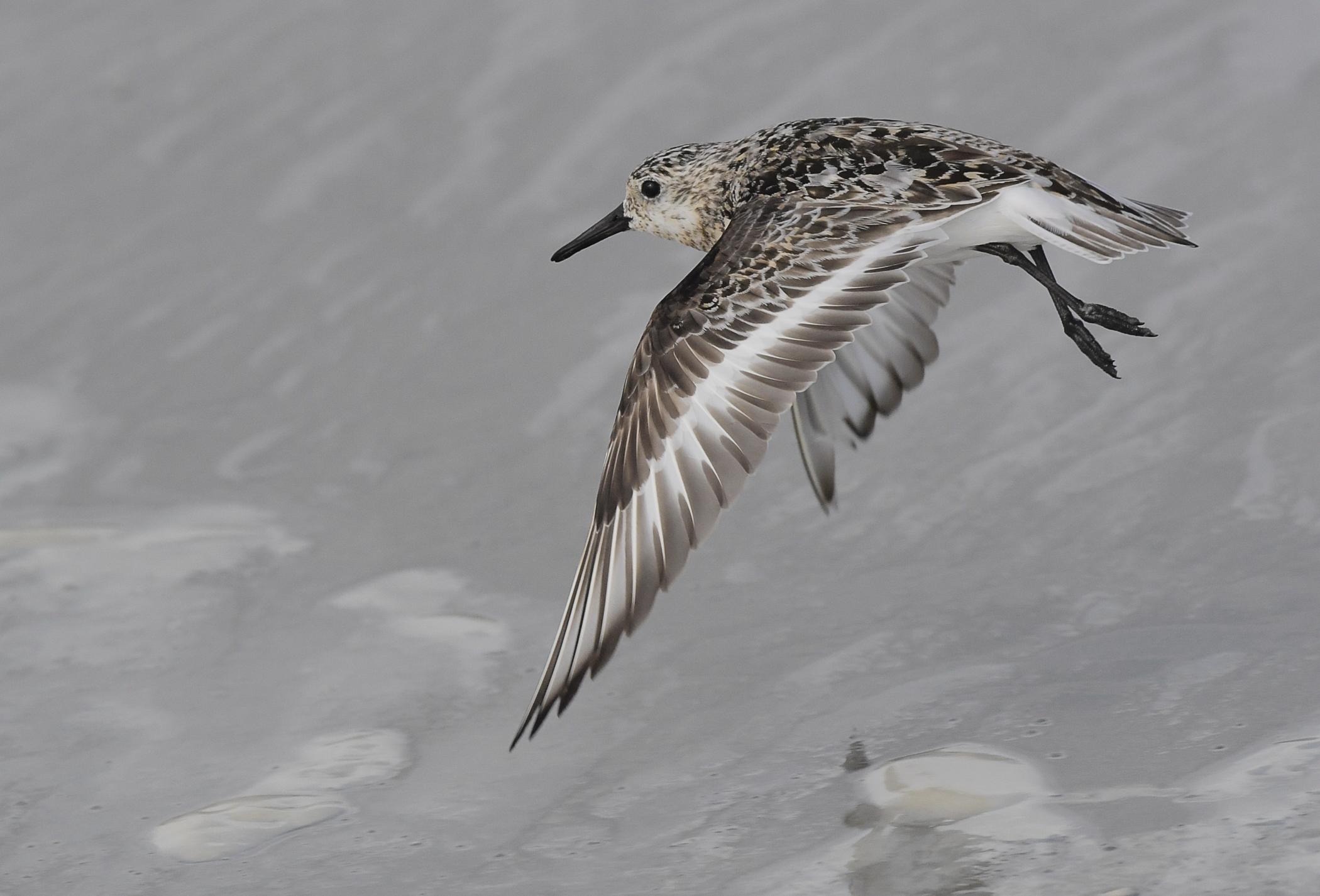 Bécaseau sanderling - Sanderling