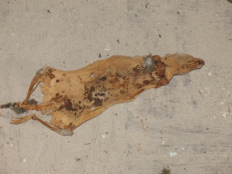 Mumified Rat