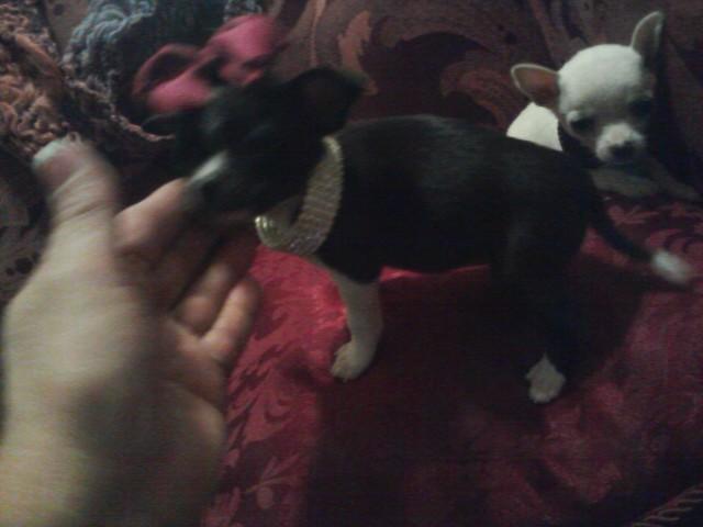 Black Chihuahua desighner markings