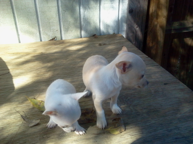 White and cream teacup and micro teacup Chihuahua apple heads