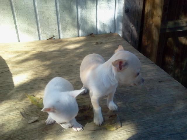 White and cream teacup and micro teacup Chihuahua apple heads