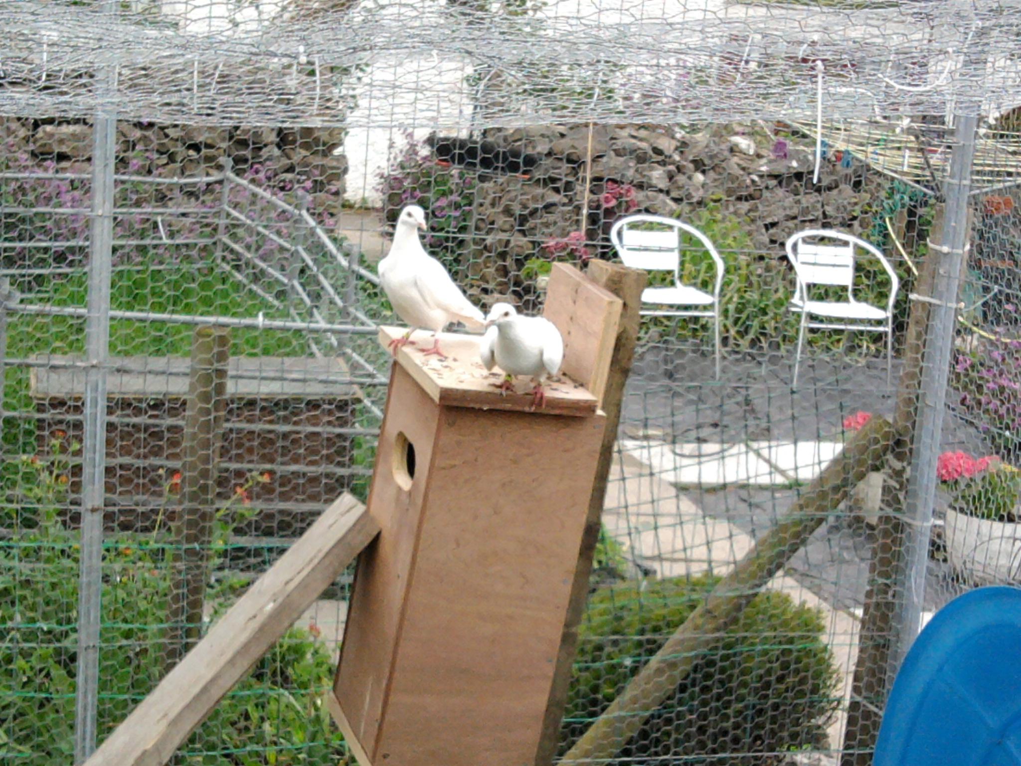 white pidgeons