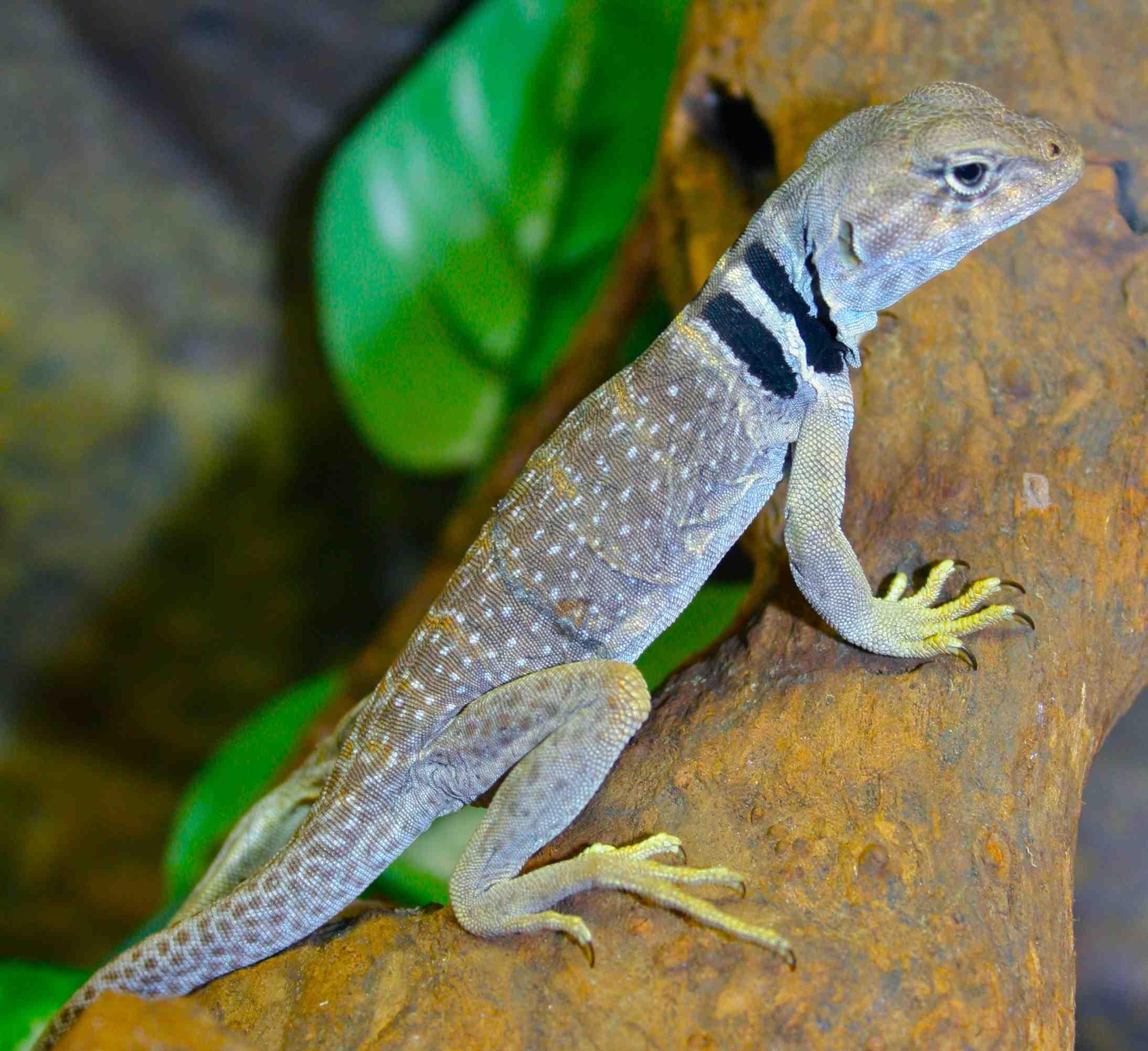 U S Lizard Mojave Collared...