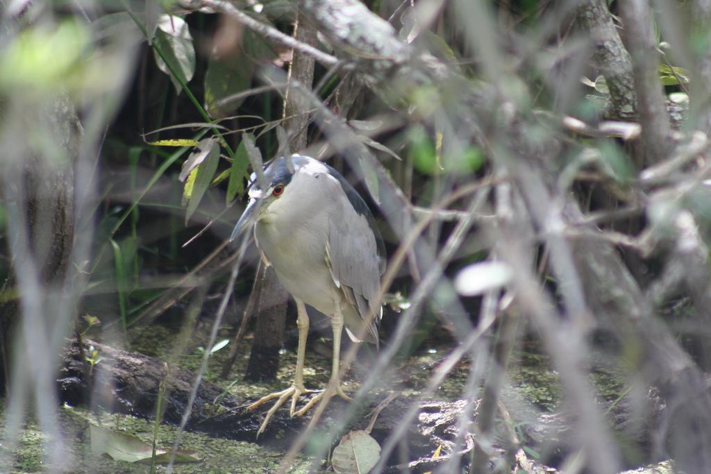 Black-crowned Night-heron, adult