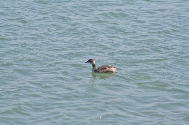 Late Horned Grebe