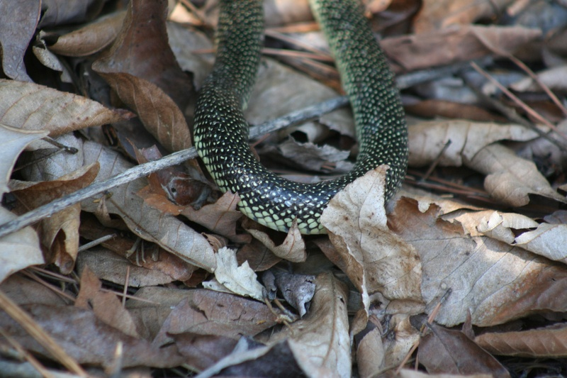 Eastern Kingsnake