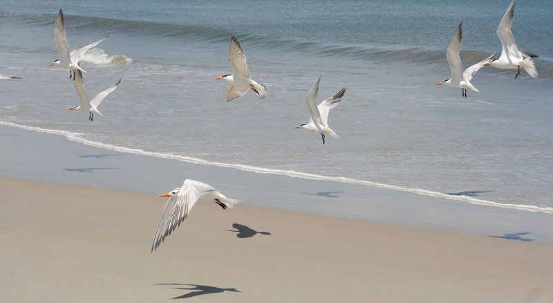 Royal Tern Takeoff