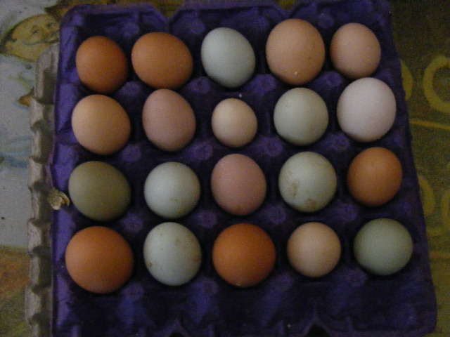 http://memberfiles.freewebs.com/36/34/49803436/photos/Eggs-and-Chickens/01.02.10.2.JPG
