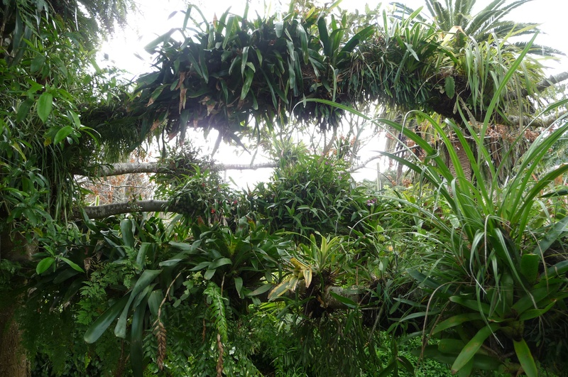 Epiphytes in tree