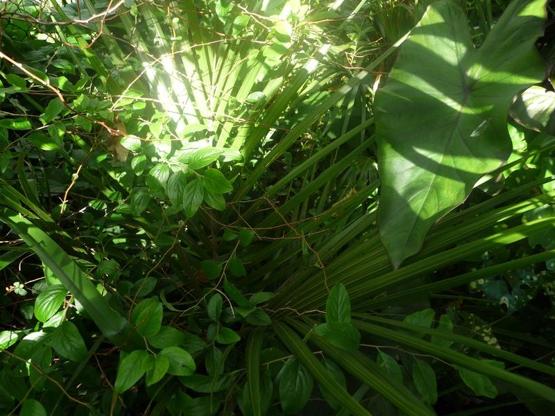 Palm and colocasia