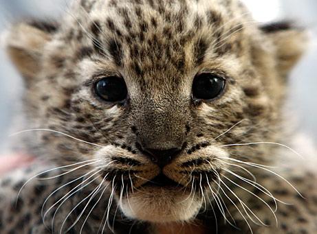 Leopard cub!