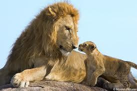 Lion and Lion Cub