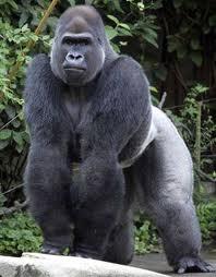 Gorillas Rule!