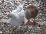Isa Brown cockerel and pullet