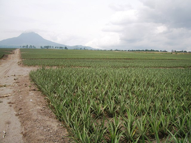 Pineapple plantation up to the mountain top