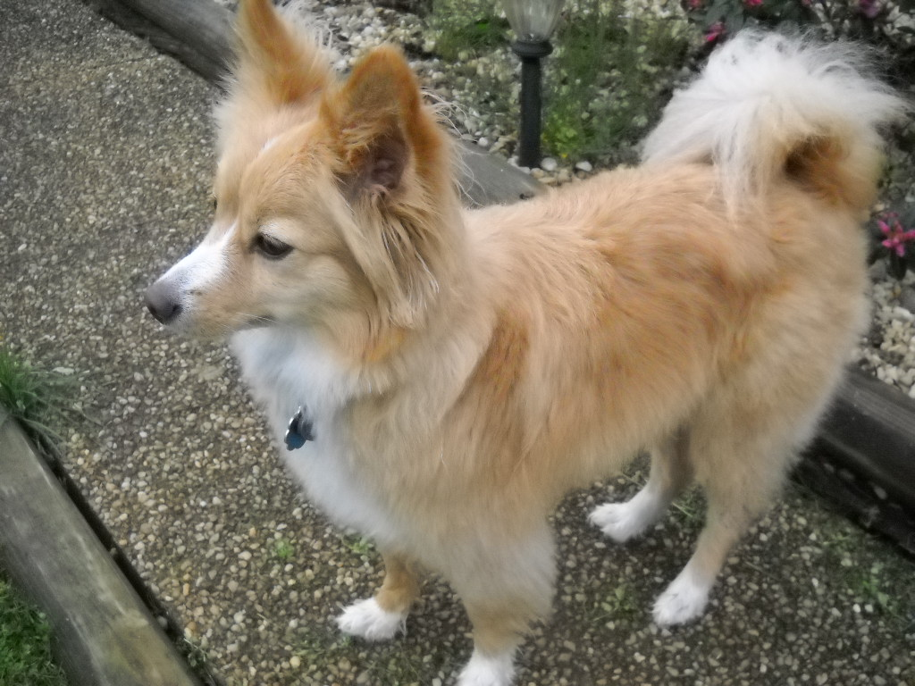 Foxy (Pomeranian -terrier mix) - Flowing Acres Pet Sitters Charles