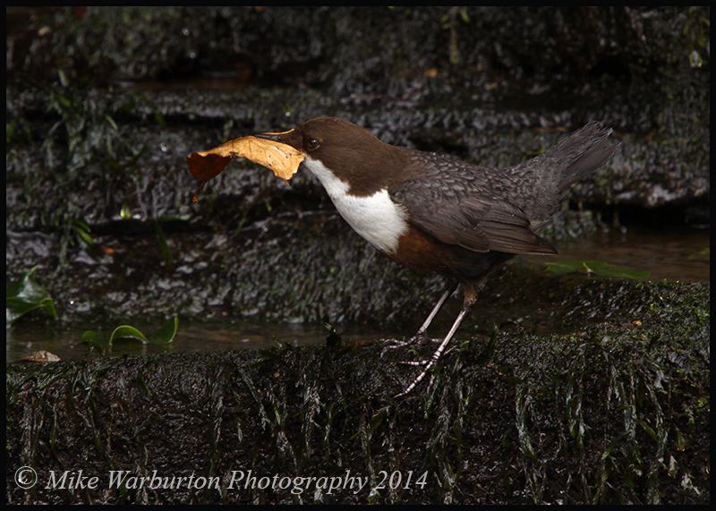 Dipper with nest lining