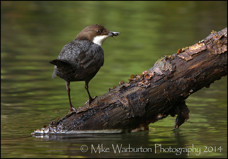 Male Dipper with food for the incubating female