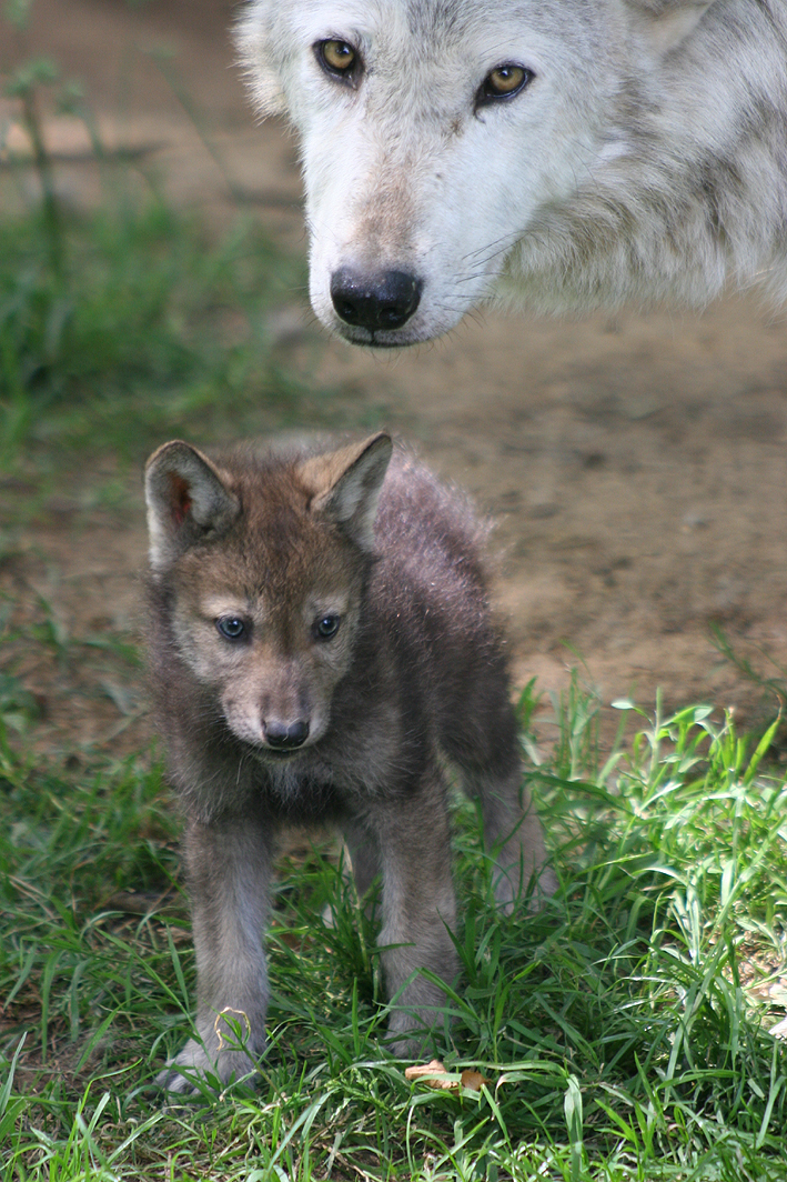 red anime wolf pup. running. anime wolf puppy.