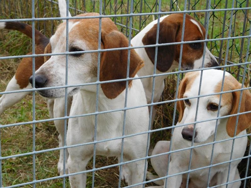 Hounds at Edenbridge
