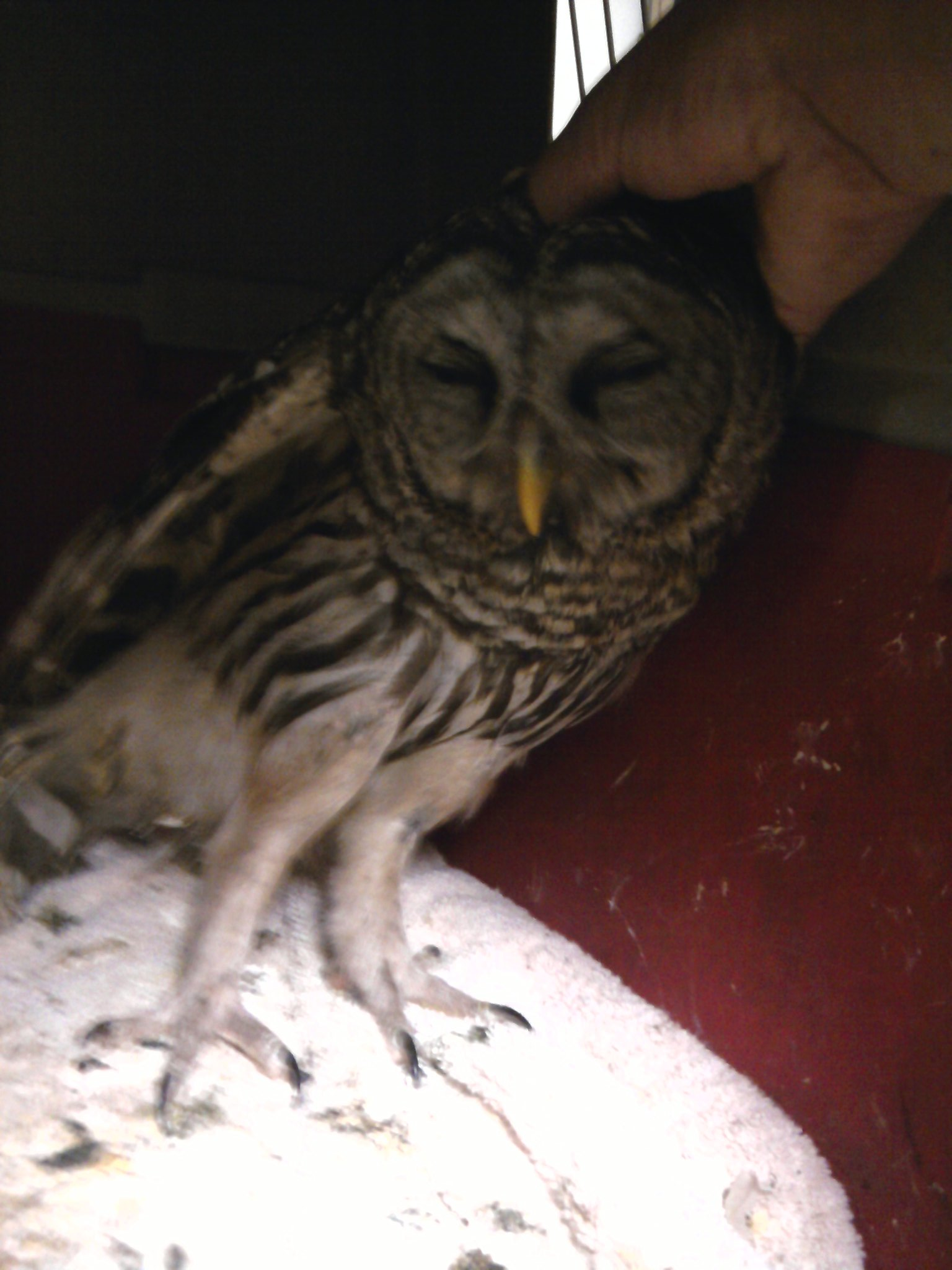 barred owl tickle