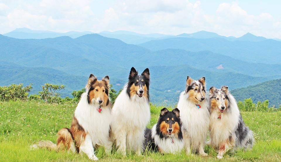 The Hills are Alive with the Siound of collies